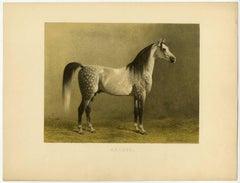 Araber - Arabian Horse.