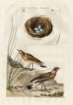 Species: Motacilla oenanthe. (Oenanthe oenanthe, Northern Wheatear or Wheatear.