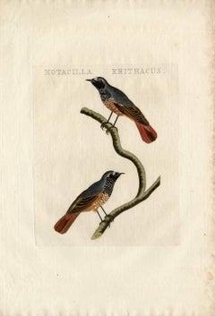 Species: Motacilla erithacus or Phoenicurus phoenicurus. The Common Redstart.