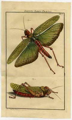 Locusta Indica Preafat. Tab. V.