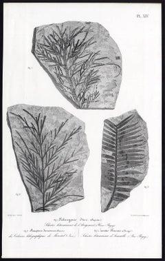 Paloeocyparis Itieri. Stenopteris desmomera. Zamiter Feneonis.