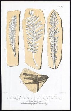 Cicadopteris Brauniana. Lomalopleris Cirinica. Zamiter procerus.
