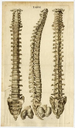 Tab VI.'' - The human spine or vertebrae, nearly life-sized depiction, [...].