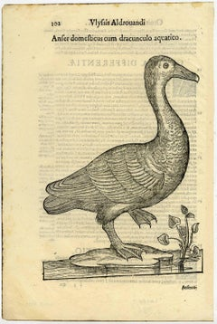 Anser domesticus [..] - a common goose.