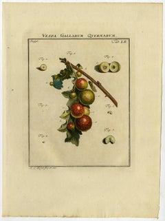 Vespa Gallarum Quernarum. Tab. LII-LIII.