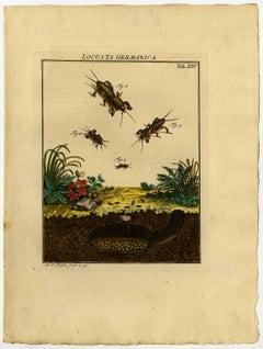 Locusta Germanica. Tab. XIV-XV.