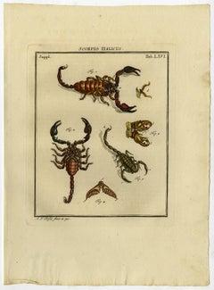 Scorpio Italicus. Tab. LXVI.