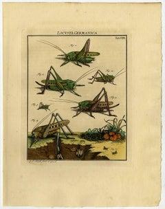 Locusta Germanica. Tab. VIII-IX.