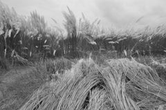 "Rural Photography, Kans Grass, Shantiniketan, Black, White, Indian Art""In Stock"""