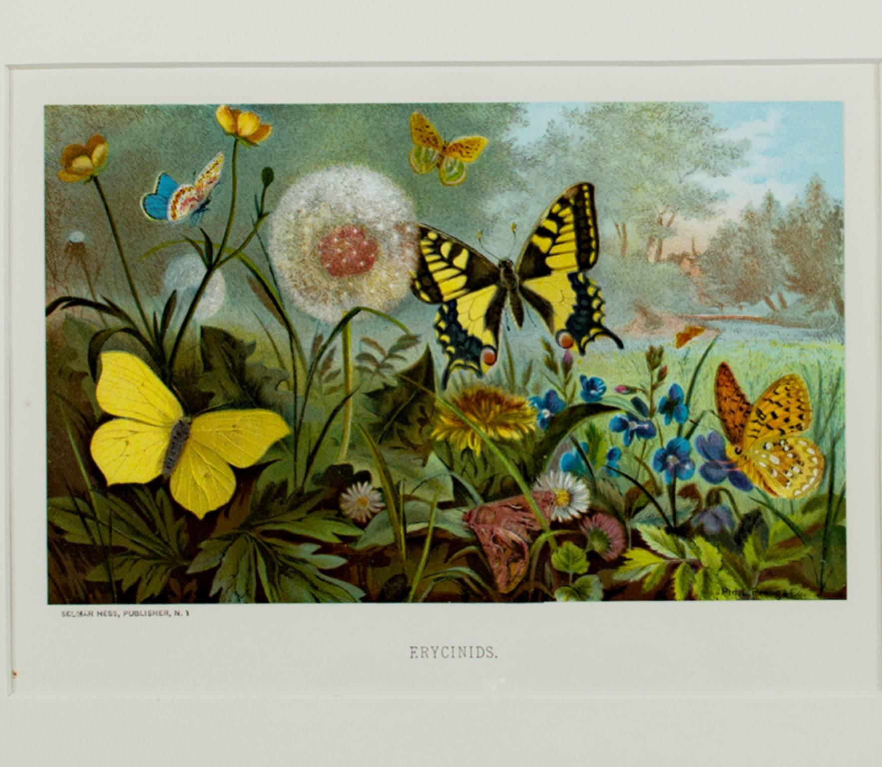 """""""Erycinids,"""" an Original Color Lithograph signed by Louis Prang"""