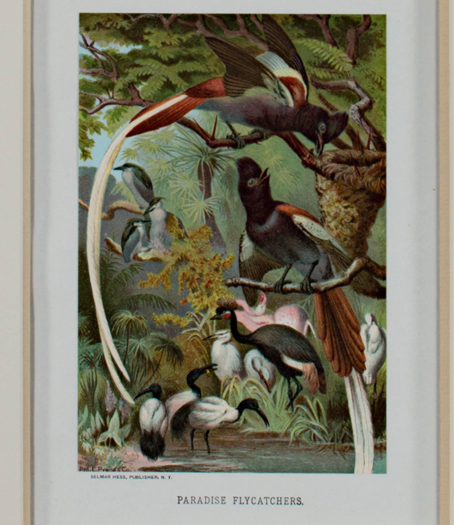 """Paradise Flycatchers,"" an Original Chromolithograph by Louis Prang"