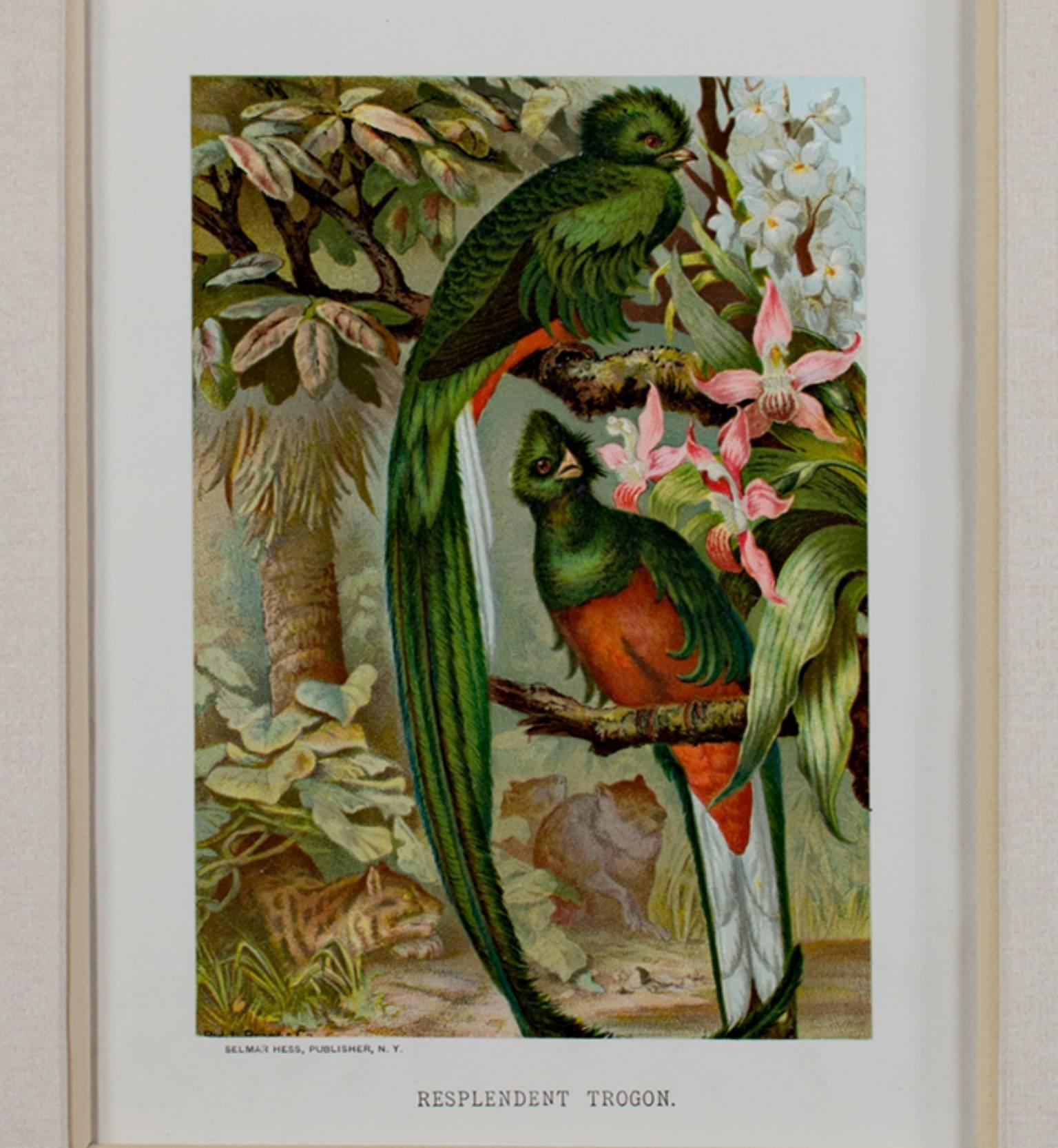"""Resplendent Trogon,"" Original Color Lithograph by Louis Prang"