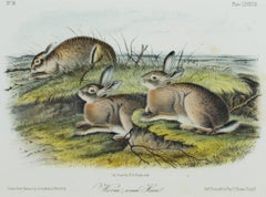 """Worm-Wood Hare,"" original color lithograph by John James Audubon"