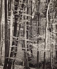 Beech Forest, Luxembourg