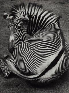 Greys Zebra