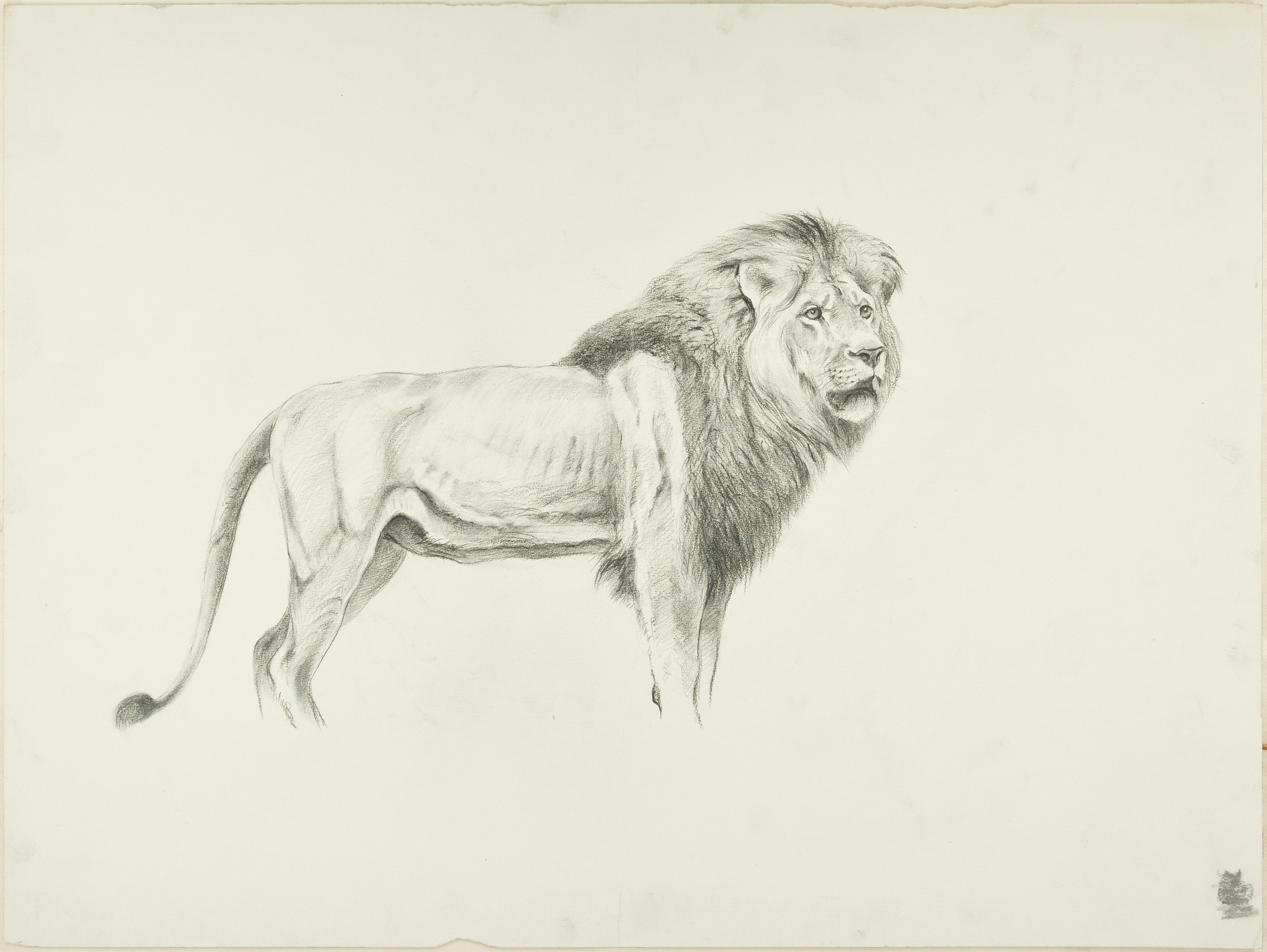 Profile of lion original pencil drawing by willy lorenz mid 20th century