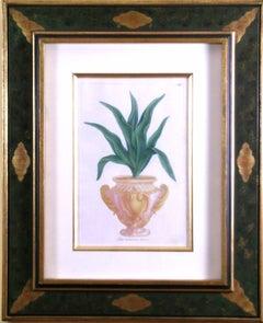 N. 66  Aloe Tuberosa Levis