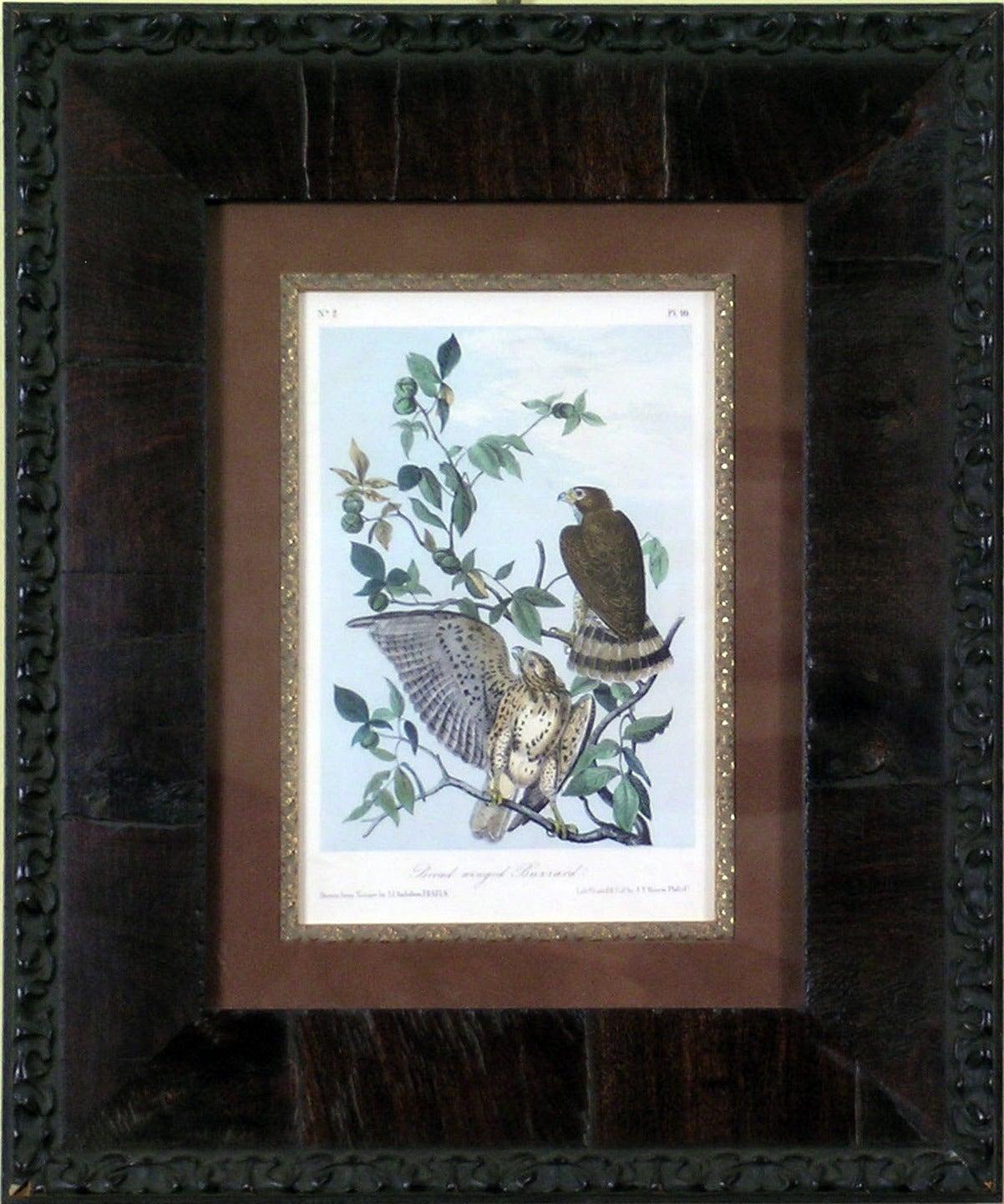 Broad Winged Buzzard - Print by John James Audubon