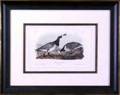 Bernacle Goose