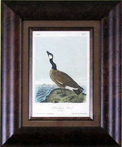 Hutchin's Goose
