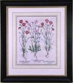 Caryophyllus Flore  (Carnations)