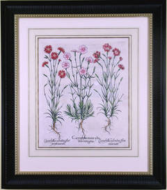 Caryophyllus Flore