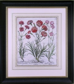 Caryophyllus Major  (Carnations)