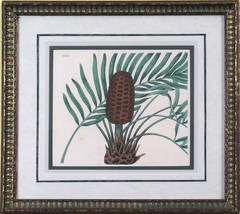 Plate 1838.  Cycad