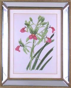 (Orchid) Cymbidium Rhodochilum
