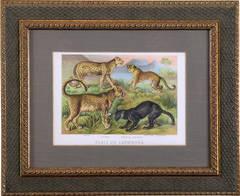 Pl. VIII  Ounce (Snow Leopard),Chetah, Asiatic Leopard, African Leopard