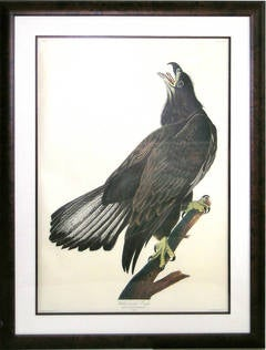 White Headed Eagle - Young (Bald Eagle)
