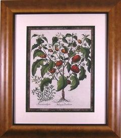 Solanum Pomiferum (Tomato)