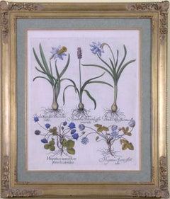Pseudo Narcissus (Daffodil, Buttercups)