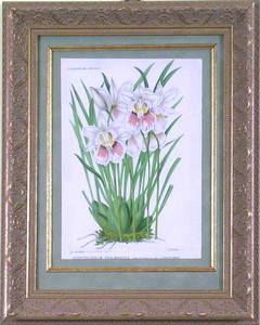 Ondontoglossum Phalaenopsis