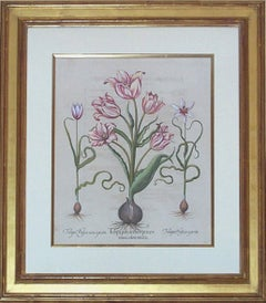 Tulipa Polyanthos