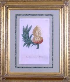 Ananas Brava.  Ananas Noblis