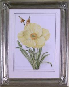 Meconopsis Integrifolia (Lampshade Poppy)