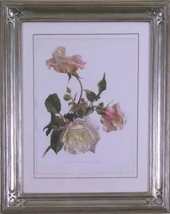 Rose Comtese Vital