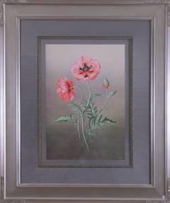 Papaver Orientalis   (Red Poppy)