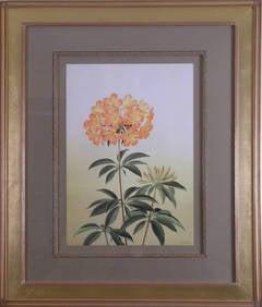 Rhododendron Aurigeranum