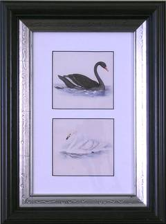Black Swan and Whistling Swan