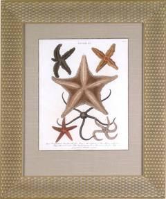 Asterias (Starfish)