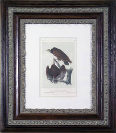 Red-headed Turkey Vulture
