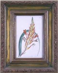 Plate 856.  Pitcairnia Latifolis.  (Bromeliad)