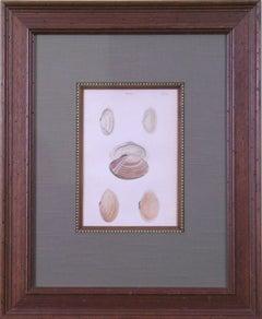 Solen.  Plate 33. (Shells)