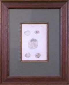 Cardium Plate 56 (Shells)