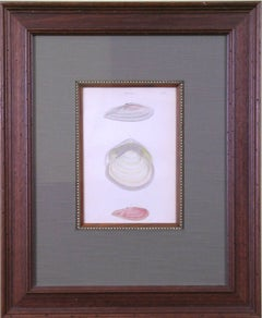 Tellina  Plate 37 (Shells)