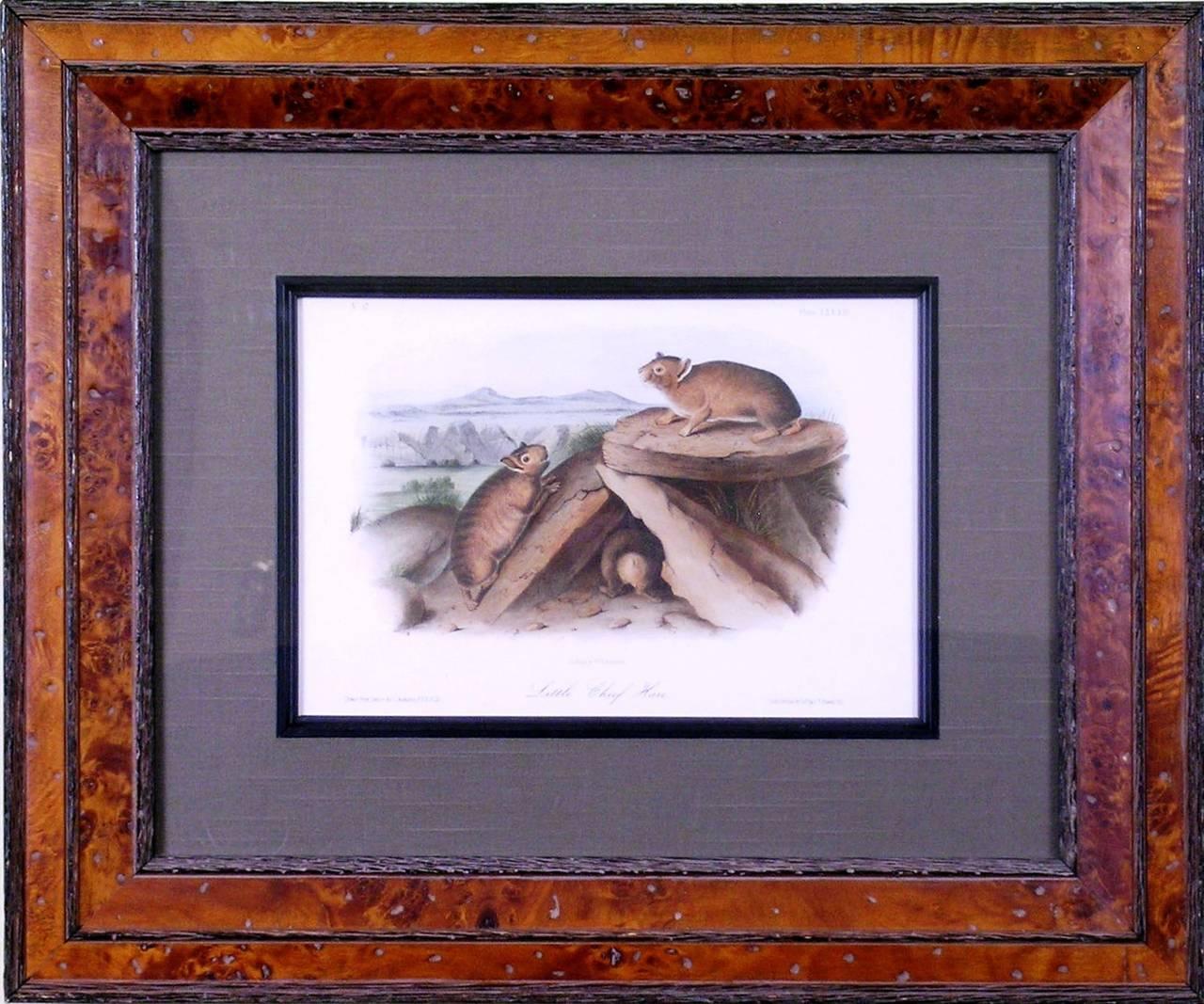 Little Chief Hare.  (Rock Rabbit)