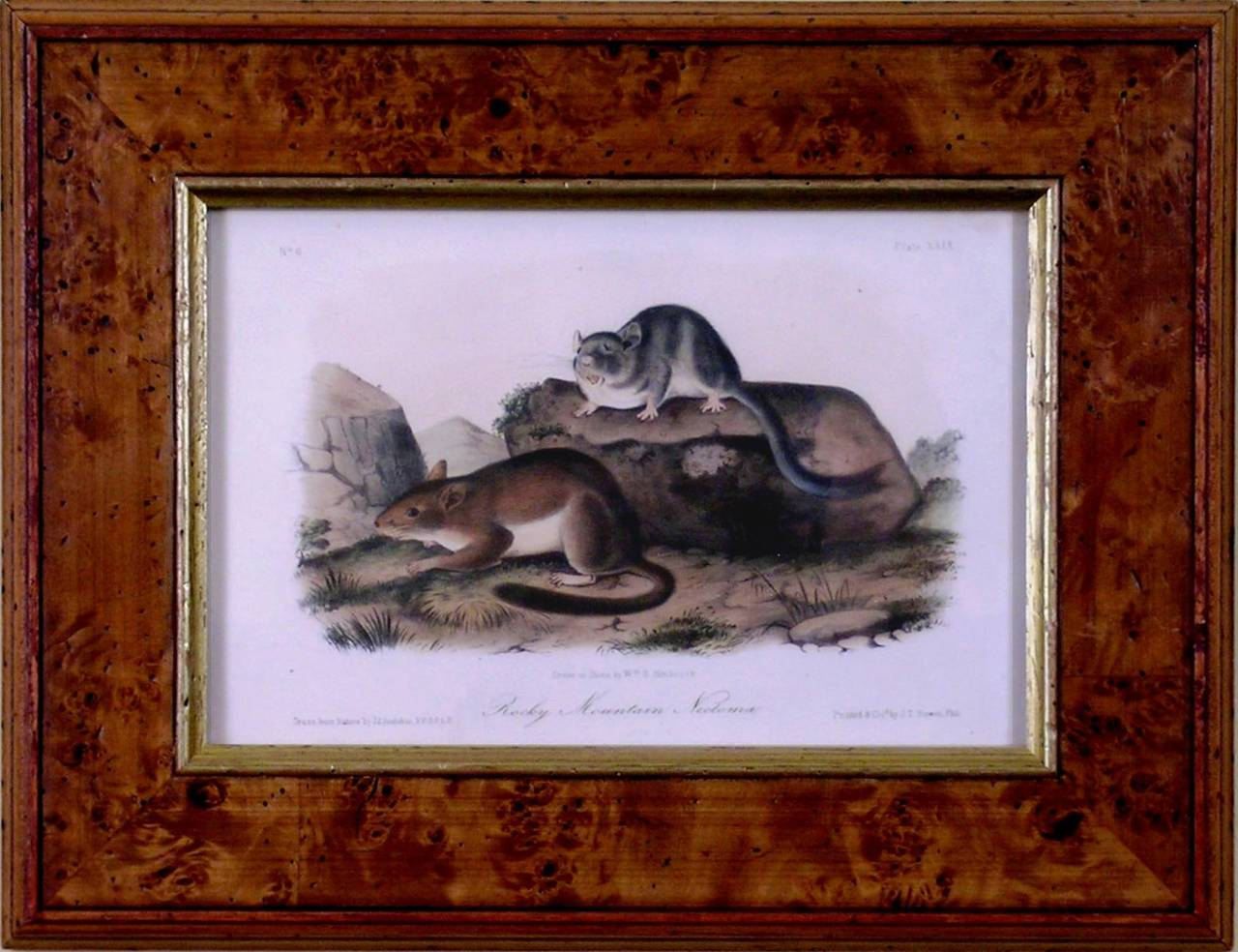 Rocky Mountain Neotoma.  (Pack Rat)