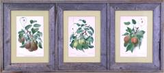 Triptych of Pears.